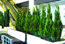 multiple large floor plantings of preserved junipers -Westin LAX