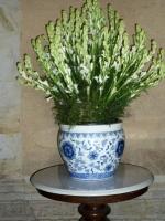 Tuberous Floral