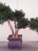 Bonsai - Podocarpus