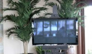 kentia-palms_600