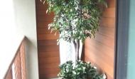 uv-ficus_uv-gardenias_600