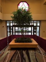 Crowne Plaza Hotel, Knoxville, Tennessee: 14 foot Custom Black Olive Tree