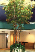 These 18-foot Maple trees with silk leaves bring the atrium of the VA Medical Center in Asheville, NC to life.