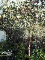 UV-white-bougainvillea-planting