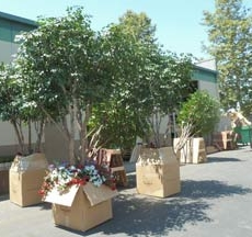 Silk trees staged for shipping