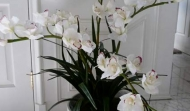 The Custom Silk Cymbidium Orchid Plants
