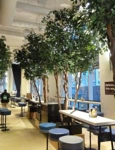 14ft Ficus Trees