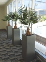 VA Hospital North Las Vegas - palms in pots