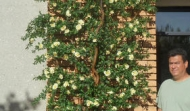 12ft UV Azalea Trellis style tree