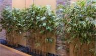 Silk Bamboo Planting