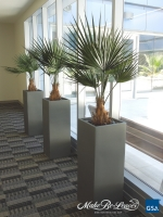 4_ft_Fan_Palms