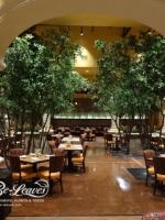 14ft Black Olive Trees