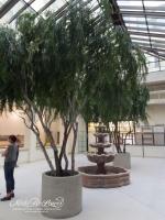 17ft Pepper Trees