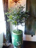4ft Mediterranean Olive Tree