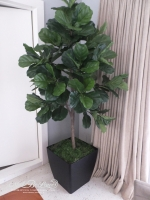 6ft Fiddle Leaf (single-trunk)