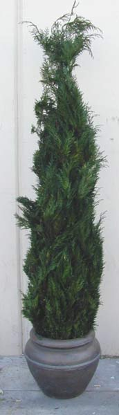 Preserved Junipers