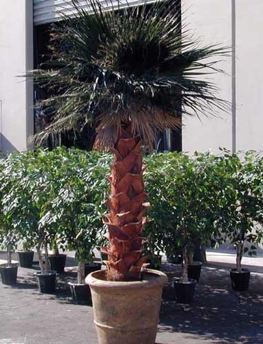 Washingtonian Palm