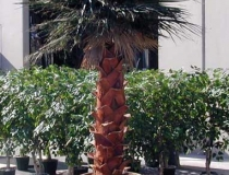 Washingtonian Palm