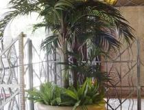 Royal_Palm_3_trunks