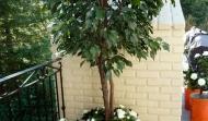 UV Ficus gardenias Rot