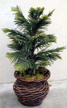 Japan Cedar Plant