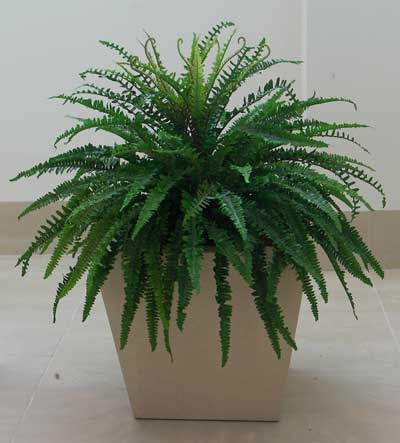 Fern - Boston Fern