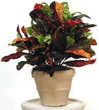 Croton - Multicolor