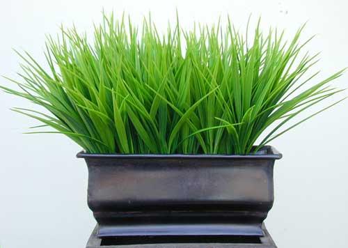 Vanilla Grass