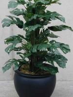 Philodendron - Split Leaf