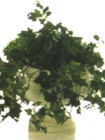 Ivy - English