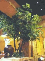 Olive Trees 16ft Black Luxor Hotel