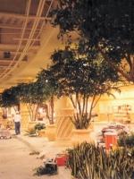 Olive Trees 16ft Aladdin Hotel