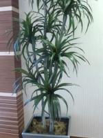 Dracaena Margenata Tree