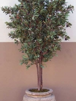 Olive - Olive Tree with olives