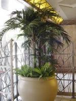 Royal Palm 3 trunks