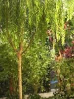 Willow Tree 12ft