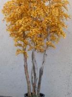 Birch Tree yellow