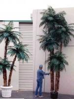 Aloe trunk palms