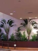 Travelers palms
