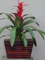 Red Guzmania