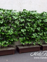 makebeleaves uv ficus hedges
