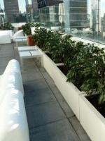 UV Ficus planting