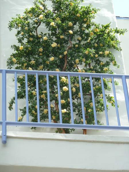 uv azalea silk lemon tree