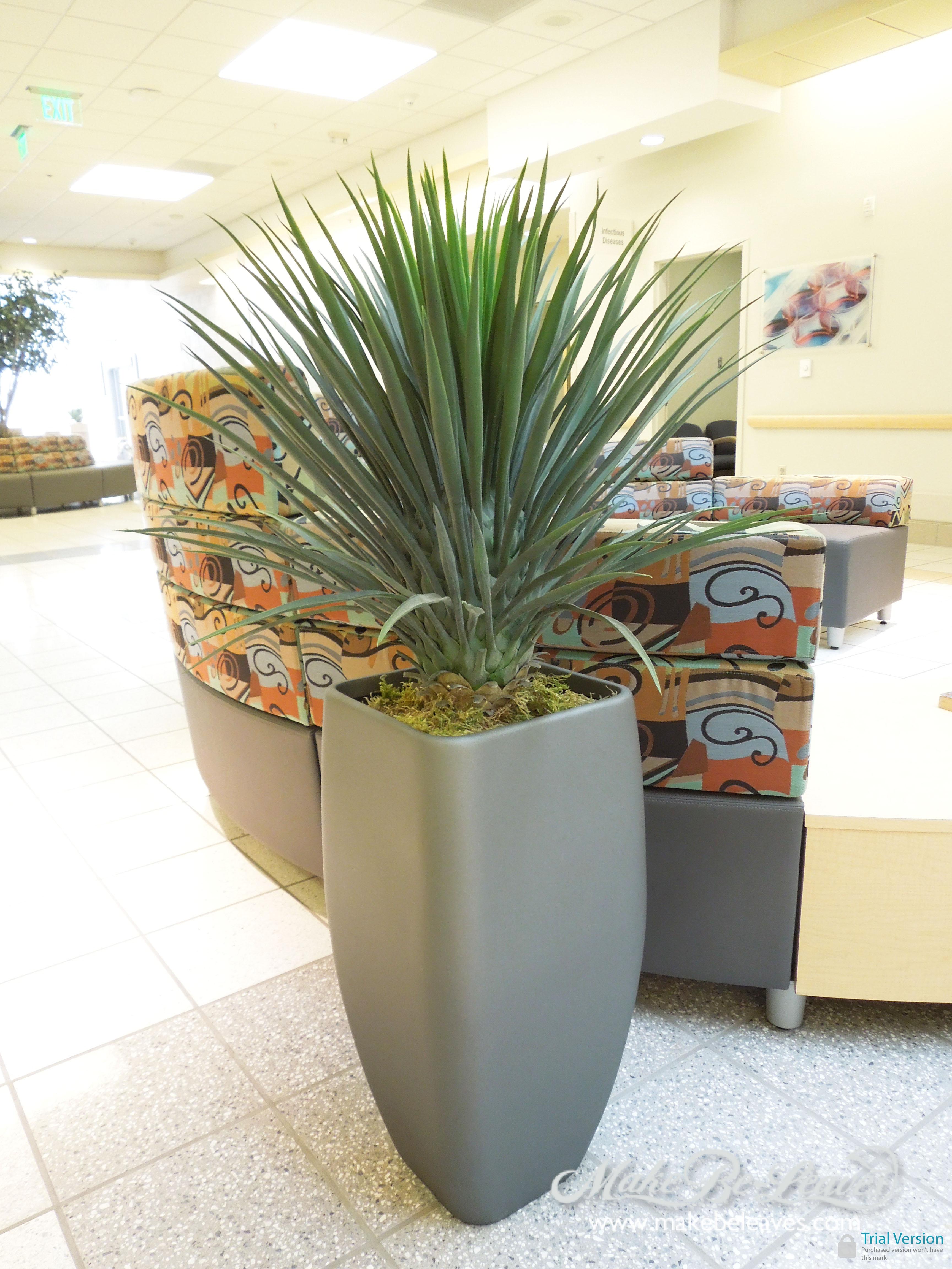 Pineapple_ Yucca