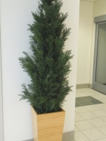 Cypress_in_bamboo_planter