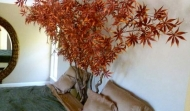 Red Jap Maple Tree