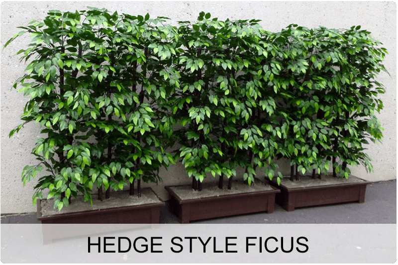 hedge style ficus