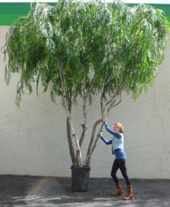 makebeleaves large artificial trees are drought resistant